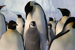 Pingüinos de emperador con el polluelo Imágenes de archivo libres de regalías