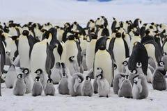 Pingüinos de emperador con el polluelo Fotos de archivo