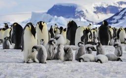 Pingüinos de emperador con los polluelos Imagenes de archivo