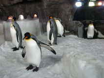 Pingüinos de emperador en acuario foto de archivo
