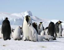 Pingüinos de emperador (forsteri del Aptenodytes) Imagen de archivo