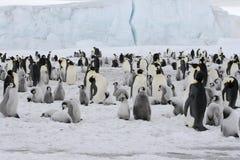 Pingüinos de emperador (forsteri del Aptenodytes) Fotografía de archivo