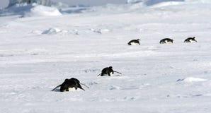 Pingüinos de emperador (forsteri del Aptenodytes) Foto de archivo libre de regalías