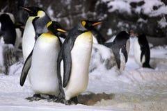 Pingüinos de emperador que cuelgan hacia fuera junto Foto de archivo