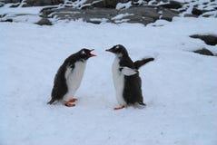Pingüinos de Gentoo Fotos de archivo libres de regalías
