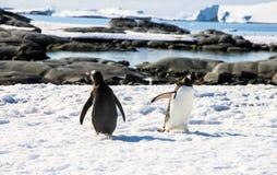 Pingüinos de Gentoo Fotografía de archivo libre de regalías