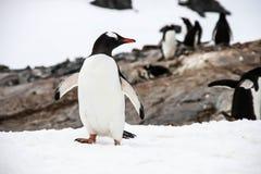 Pingüinos de Gentoo Imágenes de archivo libres de regalías