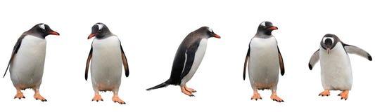 Pingüinos de Gentoo aislados en blanco imagen de archivo libre de regalías