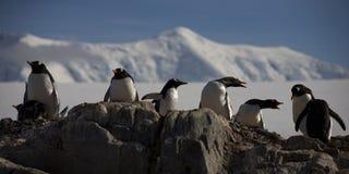 Pingüinos de Gentoo, Ant3artida. imagen de archivo libre de regalías