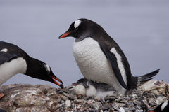 Pingüinos de Gentoo con el polluelo Fotos de archivo