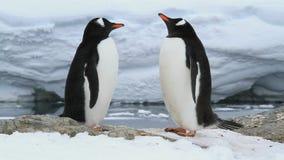 Pingüinos de Gentoo del varón y del condimento en el sitio futuro de la jerarquía de un día de primavera metrajes