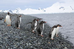 Pingüinos de Gentoo en la Antártida Imagen de archivo