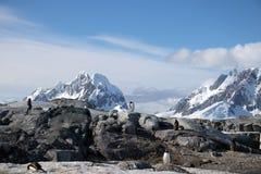 Pingüinos de Gentoo en la isla de Petermann, la Antártida fotos de archivo