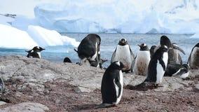 Pingüinos de Gentoo en la jerarquía