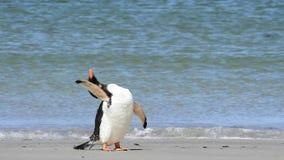 Pingüinos de Gentoo en la playa