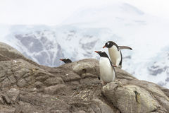 Pingüinos de Gentoo en rocas Foto de archivo libre de regalías