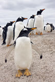 Pingüinos de Gentoo - Falkland Islands Fotos de archivo