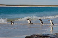Pingüinos de Gentoo - Falkland Islands Imágenes de archivo libres de regalías