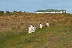 Pingüinos de Gentoo - Falkland Islands Imagen de archivo