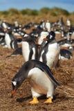 Pingüinos de Gentoo - Falkland Islands Imagenes de archivo