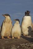 Pingüinos de Gentoo - Falkland Islands Fotografía de archivo libre de regalías