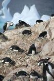 Pingüinos de Gentoo, jerarquización, con los coromorants en fondo Imágenes de archivo libres de regalías