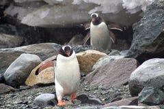 Pingüinos de Gentoo, la Antártida Fotos de archivo