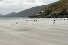Pingüinos de Gentoo (Pygoscelis Papua) Imagen de archivo