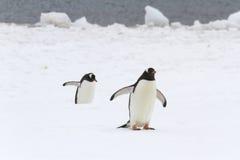 Pingüinos de Gentoo que caminan Imagenes de archivo