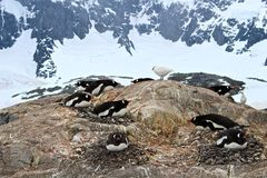 Pingüinos de Gentoo que jerarquizan contra el fondo de la montaña, la Antártida Foto de archivo