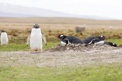 Pingüinos de Gentoo que jerarquizan en la colonia, Falkland Islands Foto de archivo libre de regalías
