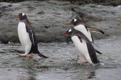 Pingüinos de Gentoo que salen del agua, la Antártida Fotos de archivo