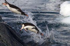 Pingüinos de Gentoo que saltan en el agua de la roca Foto de archivo
