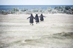 Pingüinos de Gentoo que van para una nadada en el punto voluntario Fotografía de archivo