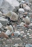 Pingüinos de Gentoo, saltando sobre rocas a la playa, Imagen de archivo