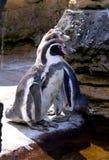 Pingüinos de Humboldt Imagen de archivo libre de regalías