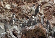 Pingüinos de Humboldt Fotografía de archivo libre de regalías