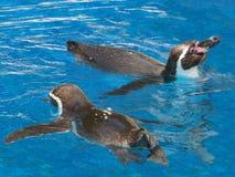 Pingüinos de Humbolt Imagen de archivo