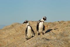 Pingüinos de Jackass divertidos Foto de archivo libre de regalías