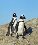 Pingüinos de Jackass divertidos Fotos de archivo
