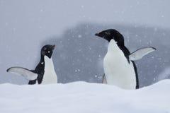 Pingüinos de la Antártida Imágenes de archivo libres de regalías