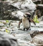 Pingüinos de la juventud Imagen de archivo libre de regalías