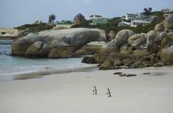 Pingüinos de la playa de los cantos rodados Fotos de archivo