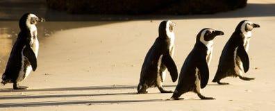 Pingüinos de la playa de los cantos rodados Fotos de archivo libres de regalías