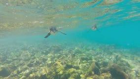 Pingüinos de las Islas Galápagos que nadan bajo el agua Galagapos, Ecuador almacen de metraje de vídeo