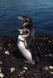 Pingüinos de las Islas Gal3apagos Fotografía de archivo