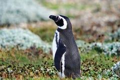 Pingüinos de Magellan Imagen de archivo libre de regalías