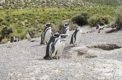 Pingüinos de Magellan cerca de la jerarquía Imagen de archivo libre de regalías