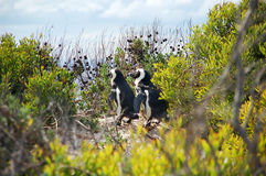 Pingüinos de Magellan en línea fotos de archivo