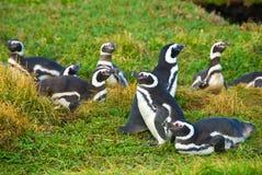 Pingüinos de Magellanic Fotos de archivo libres de regalías